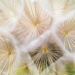 macro photo of dandelion seeds